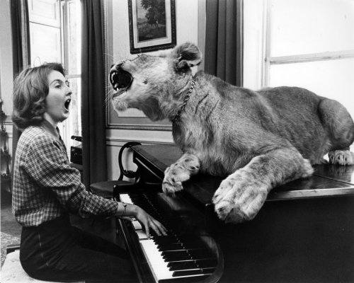 Lion singing with a pianist by John Drysdale