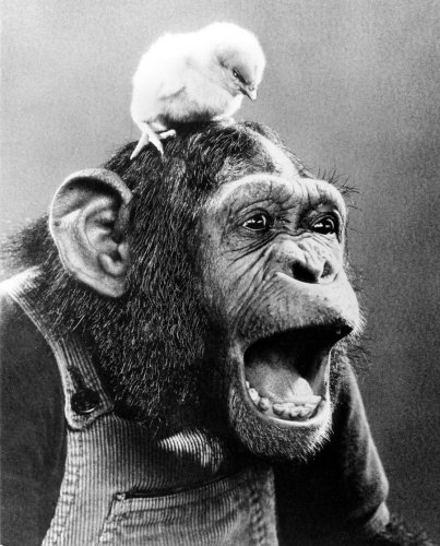 Chick on chimp by John Drysdale
