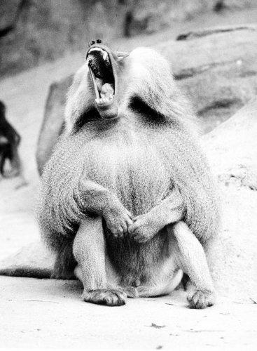 Yawning baboon by Walter Sittig