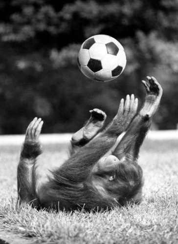 Chimpanzee playing with a football by Walter Sittig