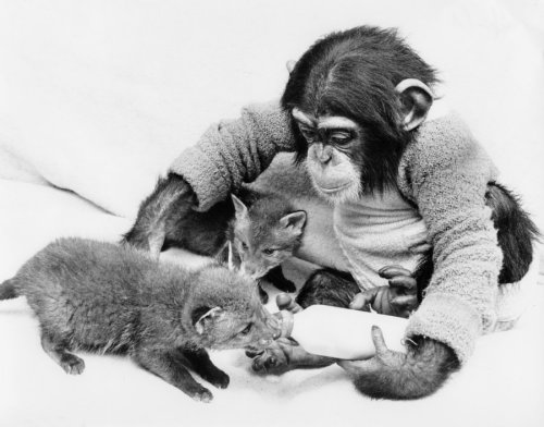 Chimpanzee feeding fox cubs by John Drysdale