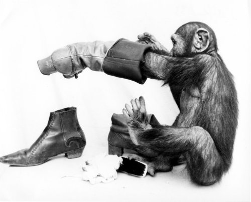 Chimpanzee polishing his boots by John Drysdale
