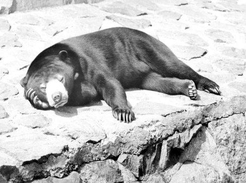 Bear sleeping in the sun by Walter Sittig