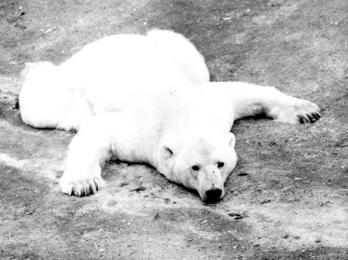 Polar bear lying spread eagle by Walter Sittig