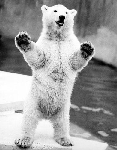 Polar bear standing on his hind legs by Walter Sittig