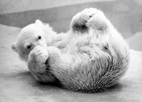 Little polar bear rolls on his back by Walter Sittig