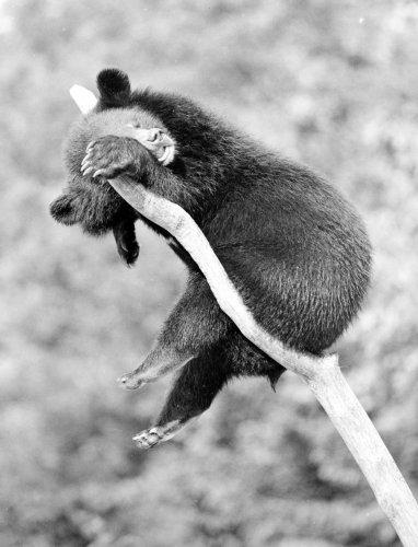 Little bear sleeping on branch by Walter Sittig