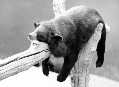 Bear sleeping on a branch by Walter Sittig