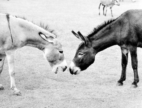 Two donkeys by Walter Sittig
