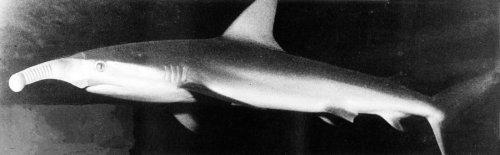 Shark by Chris Furby