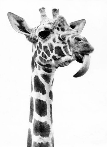 Giraffe sticking out his tongue by Walter Sittig
