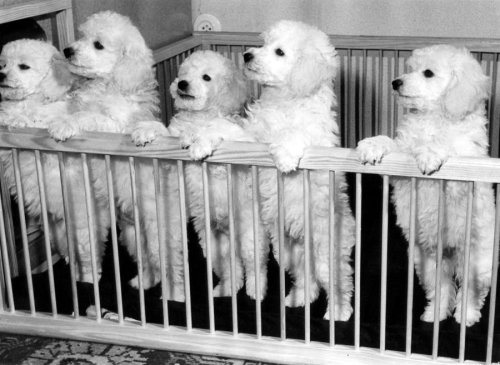 Five young poodles in a playpen by Willy & Friedl Pragher