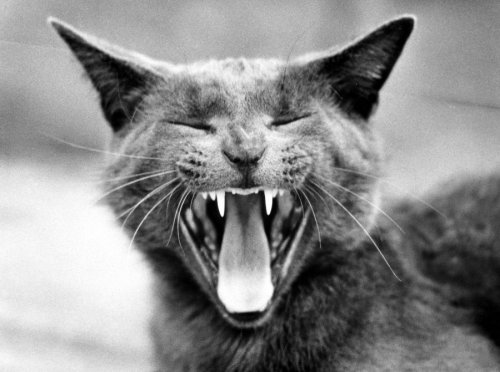 Yawning cat by Walter Sittig