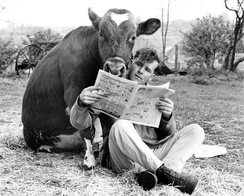 Man and cow share a newspaper by John Drysdale
