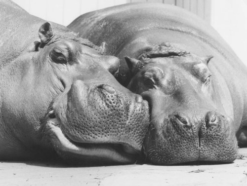 Two hippos take a nap by Walter Sittig