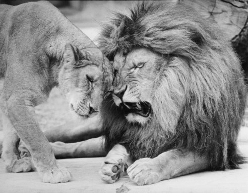 Lion couple by Walter Sittig