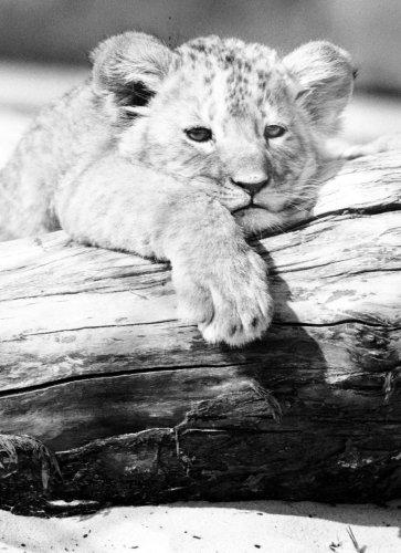 Lion cub by Walter Sittig