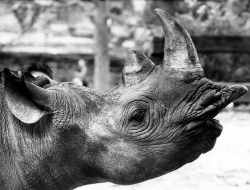 Rhino lifts up his head by Thea Wind