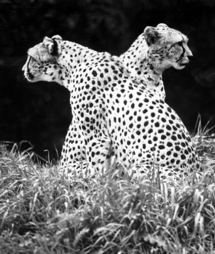 Two-headed' Cheetah by Walter Sittig