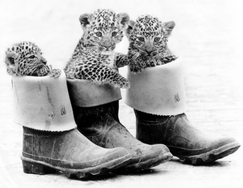 Leopard cubs hiding in rubber boots by John Drysdale