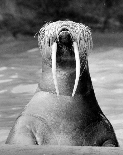 Walrus by Walter Sittig
