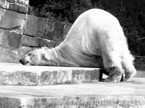 Polar bear relaxing by Walter Sittig