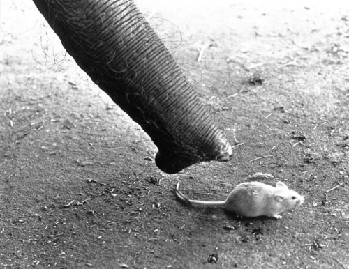 Elephant sniffing a mouse by John Drysdale