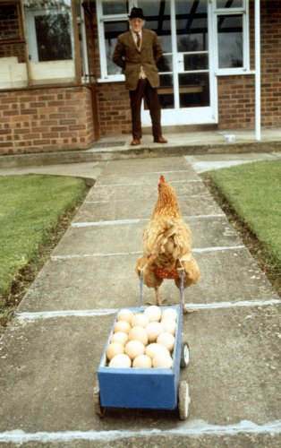 Chicken pulling a cart of eggs by John Drysdale