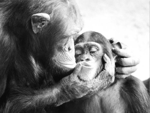 Mother chimpanzee kisses her baby by Walter Sittig