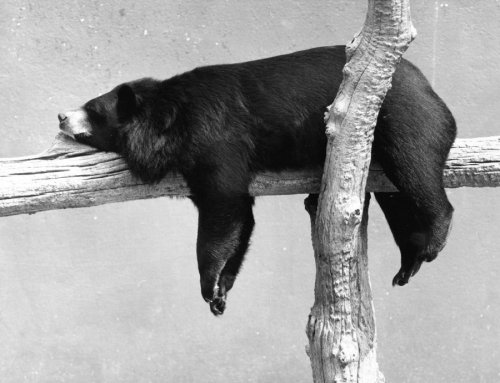 Bear on the branch by Walter Sittig