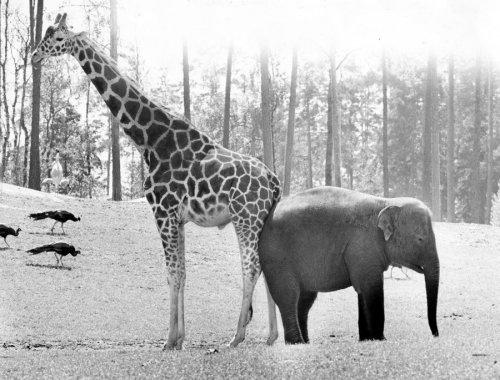 Elephant and giraffe by Walter Sittig