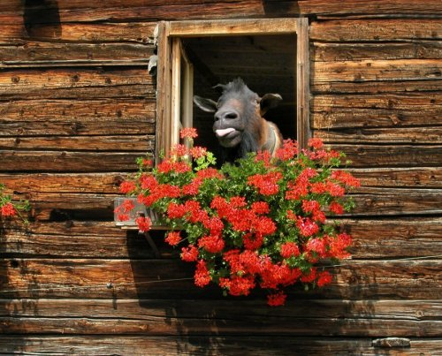 Goat looking out of a window by Thomas Hupfauf