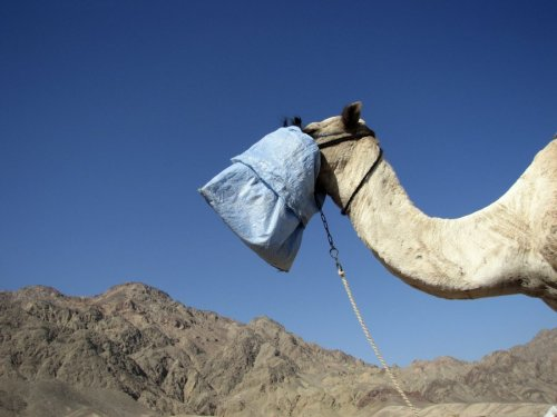 Camel with a bag over its mouth, Egypt by Heinz Krimmer