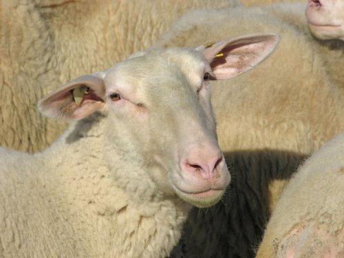 Sheep in a flock by Heinz Krimmer