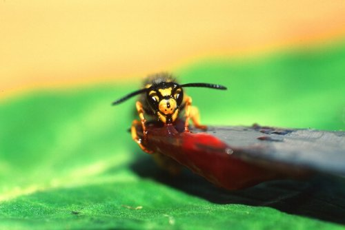 Wasp eating marmalade by Heinz Krimmer