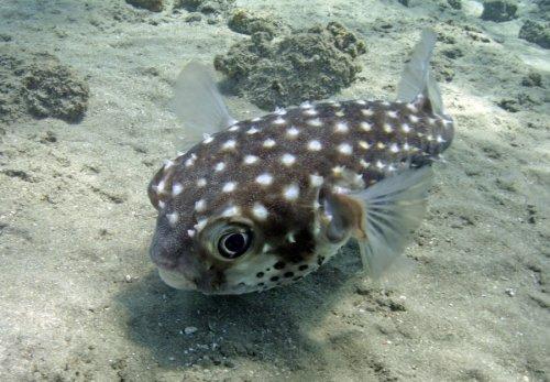 Boxfish, Red Sea by Heinz Krimmer