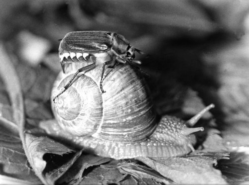 Snail carrying a beetle on its shell by Rüdiger Poborsky