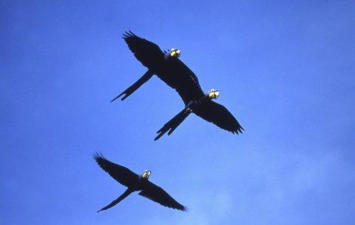 Hyacinth macaws by Gerd Pfeiffer