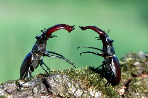Stag beetles fighting by Berndt Fischer