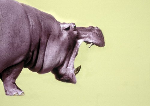 Hippo with open mouth by Walter Sittig