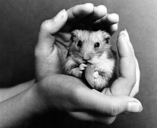 Hamster in hands by Rita May