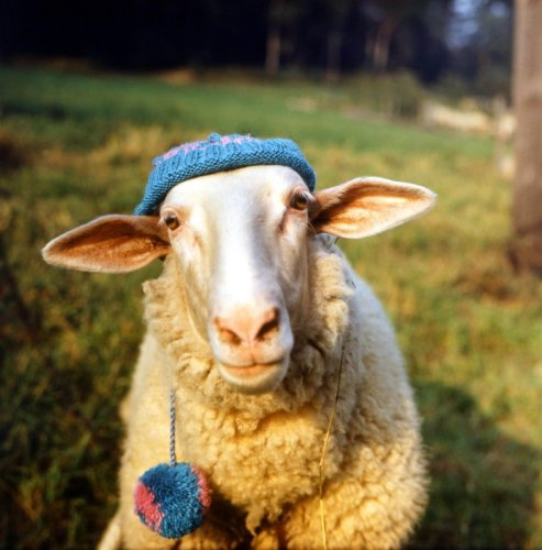 Sheep wearing a knitted hat by Rita May