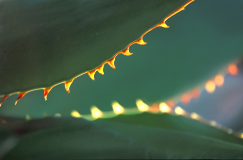 Cactus leaves by Rosseforp