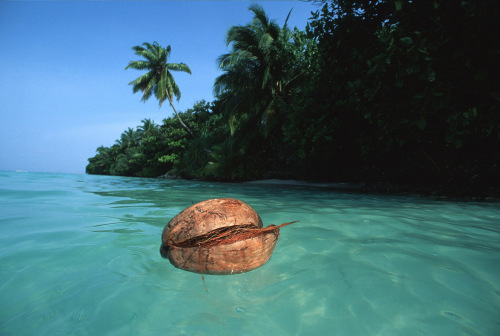 Floating coconut by Heinz Krimmer