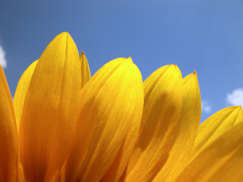 Sunflower petals by Rosseforp