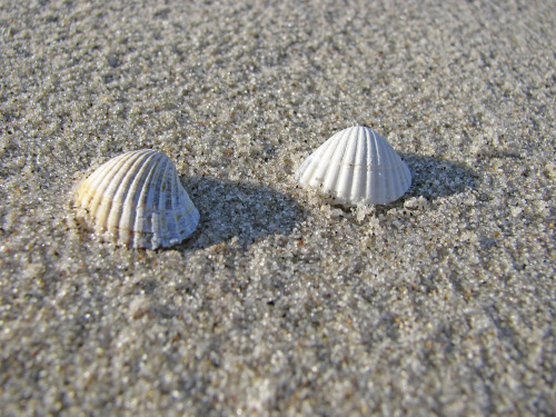 Two shells on the beach by Heinz Krimmer