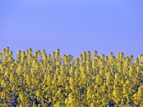 Field of rapeseed by Rosseforp
