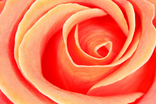 Rose close-up by Rosseforp