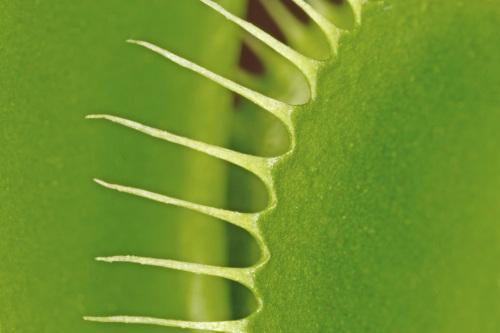 Venus flytrap by Rosseforp