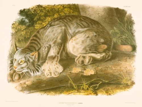 Canada Lynx, A Colored Lithographed Plate From 'The Viviparous Quadrapeds Of North America' by John James Audubon